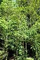 Buxus colchica kz10.jpg
