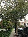 C17-1-Plantus occidentalis (American Sycamore).JPG