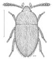 COLE Leiodidae Zenocolon sp1.png
