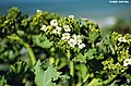CRAMBE MARITIMA. (5). Choux marin,floraison.Sillon de Talbert.jpg