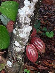 le fruit du cacao
