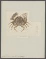 Calappa tuberculata - - Print - Iconographia Zoologica - Special Collections University of Amsterdam - UBAINV0274 096 02 0007.tif