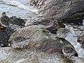 Calidris maritima (40575724632).jpg