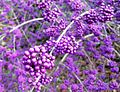 Callicarpa (Beautyberry) at Streissguth Garden in Winter - Flickr - brewbooks.jpg