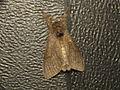 Calliteara pudibunda (14063093259).jpg