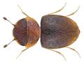 Calyptomerus dubius (Marsham, 1802) (21129512368).png