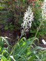 Camassia cucickii W-North America0.jpg