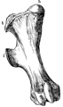 Cambridge Natural History Mammalia Fig 123.png