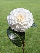 Camellia × williamsii 'Jury's Yellow'. Locatie, Tuinreservaat Jonker vallei 03.jpg