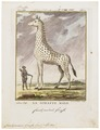 Camelopardalis giraffa - 1700-1880 - Print - Iconographia Zoologica - Special Collections University of Amsterdam - UBA01 IZ21600153.tif