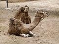 Camelus dromedarius - dromedary - Dromedar - dromadaire - Oasis Park - Fuerteventura - 02.jpg