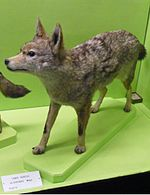 Canis anthus algirensis.jpg