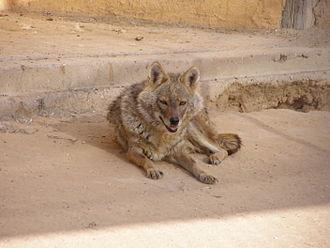 Wildlife of Iran - Golden jackal