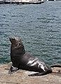 Cape Fur Seal (Arctocephalus pusillus), Hout Bay.jpg