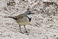 Cape Wagtail (Motacilla capensis) with Horse Fly (Tabanidae) (30606669193).jpg
