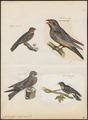 Caprimulgus europaeus - 1700-1880 - Print - Iconographia Zoologica - Special Collections University of Amsterdam - UBA01 IZ16700037.tif