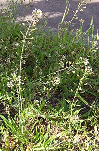 Capsella bursa-pastoris plants  with flowers and fruits