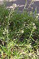 Capsella bursa-pastoris.JPG