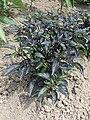 Capsicum annuum 'Peruvian Purple' kz01.jpg