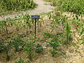 Capsicum annuum - Gardenology.org-IMG 0634 bbg09.jpg