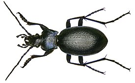 Carabus problematicus Herbst, 1786 (2971073187).jpg