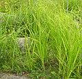 Carex acuta plant (2).jpg