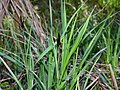 Carex acutiformis plant (11).jpg