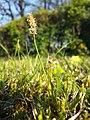 Carex caryophyllea sl28.jpg
