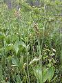 Carex diandra Oulu, Finland 18.06.2013 img 1.jpg