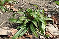 Carex plantaginea kz04.jpg