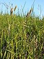 Carex tomentosa sl7.jpg