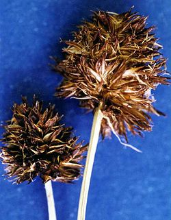 Carexvernacula.jpg