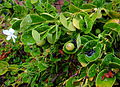 Carissa macrocarpa 'Fancy' - UC Santa Cruz Arboretum - DSC07594.JPG