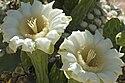 Carnegiea gigantea (Saguaro cactus) blossoms.jpg