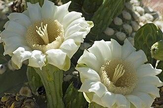 Saguaro - Saguaro flowers