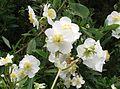 Carpenteria californica.jpg