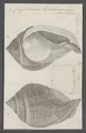 Cassidaria tyrrhena - - Print - Iconographia Zoologica - Special Collections University of Amsterdam - UBAINV0274 074 03 0006.tif