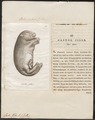 Castor fiber - 1700-1880 - Print - Iconographia Zoologica - Special Collections University of Amsterdam - UBA01 IZ20400227.tif