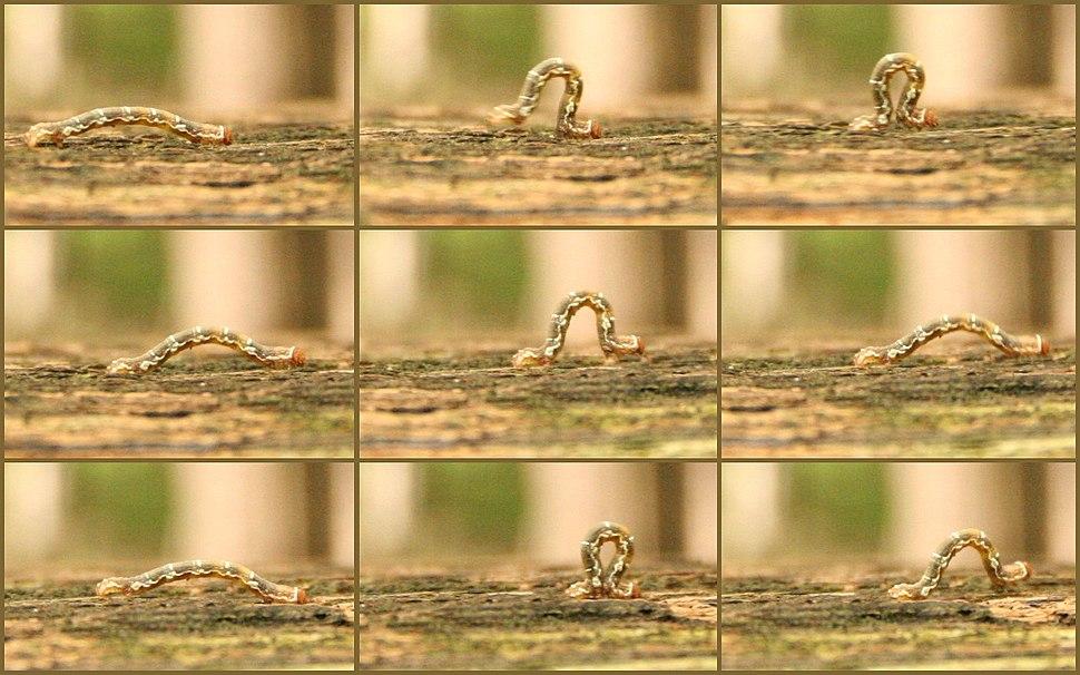 Caterpillar (locomotion) 04