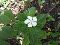 Catharanthus roseus-5-yercaud-salem-India.JPG