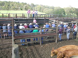 Grass-fed cattle at auction, Walcha, NSW