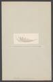 Cavolina peregrina - - Print - Iconographia Zoologica - Special Collections University of Amsterdam - UBAINV0274 005 08 0018.tif