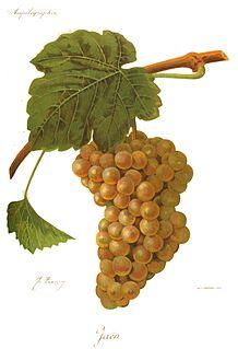 Cayetana varietal