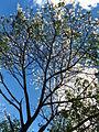 Ceiba glaziovii (1).jpg