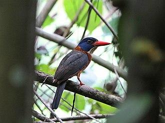Green-backed kingfisher - Image: Cekakak hutan Tunggir hijau, jantan