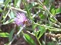 Centaurea citricolor Inflorescencia 2010-6-17 MestanzaValledeAlcudia.jpg