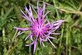 Centaurea montana - img 22921.jpg