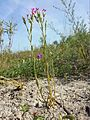 Centaurium littorale subsp. uliginosum sl1.jpg