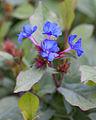 Ceratostigma plumbaginoides - Fleurs.jpg