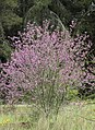 Cercis siliquastrum - Judas-tree 01.jpg